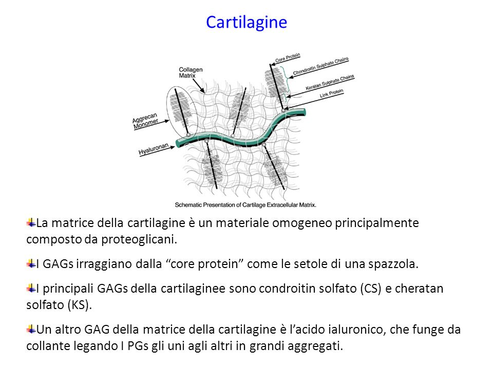 Cartilagine La matrice della cartilagine è un materiale omogeneo principalmente composto da proteoglicani.