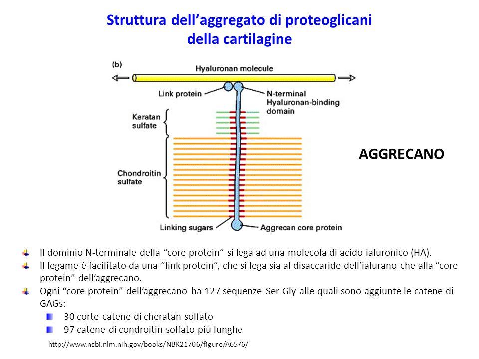 Struttura dell'aggregato di proteoglicani della cartilagine