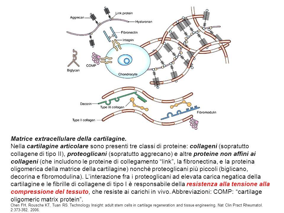 Matrice extracellulare della cartilagine.