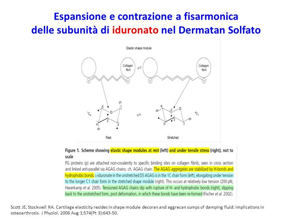 Espansione e contrazione a fisarmonica delle subunità di iduronato nel Dermatan Solfato