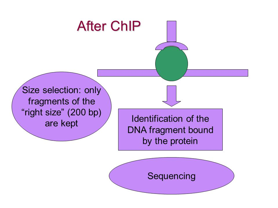 After ChIP Size selection: only fragments of the right size (200 bp)