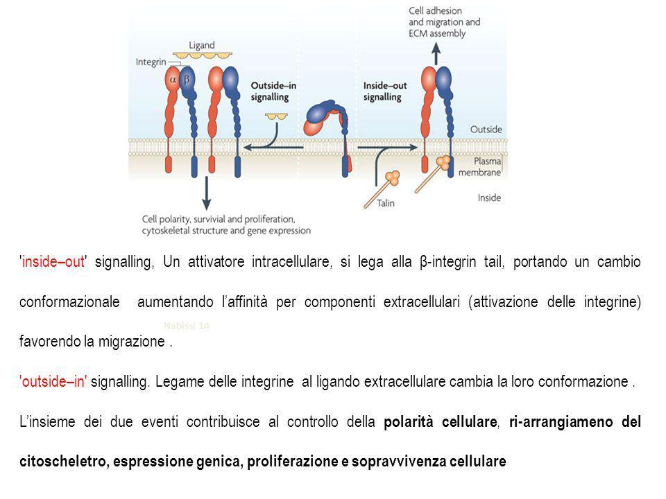inside–out signalling, Un attivatore intracellulare, si lega alla β-integrin tail, portando un cambio conformazionale aumentando l'affinità per componenti extracellulari (attivazione delle integrine) favorendo la migrazione .