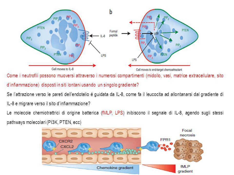 Come i neutrofili possono muoversi attraverso i numerosi compartimenti (midollo, vasi, matrice extracellulare, sito d'infiammazione) disposti in siti lontani usando un singolo gradiente
