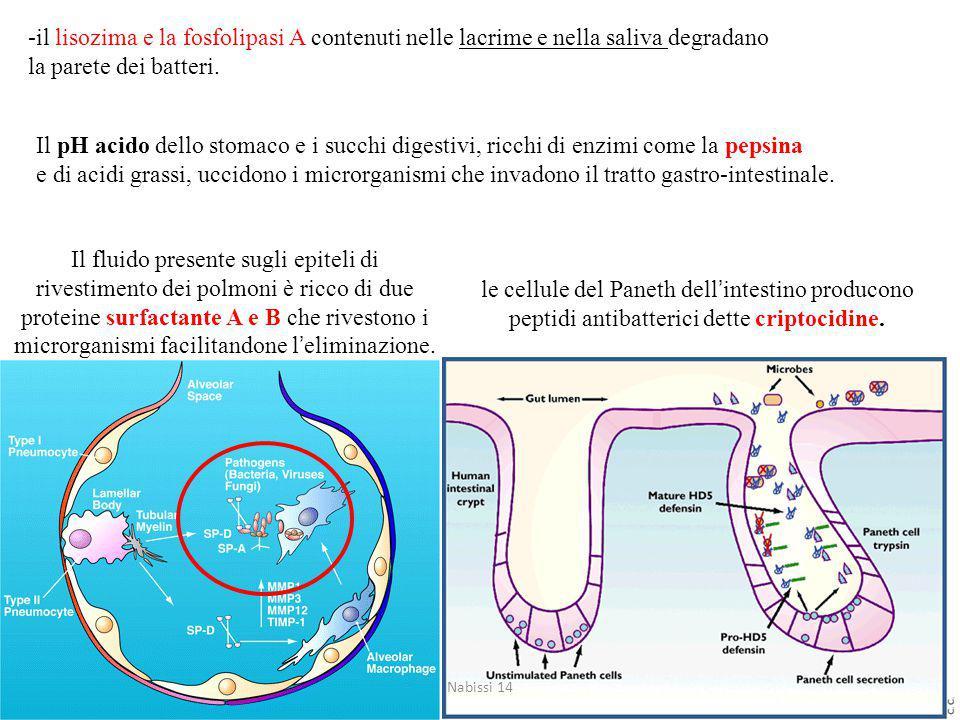 -il lisozima e la fosfolipasi A contenuti nelle lacrime e nella saliva degradano