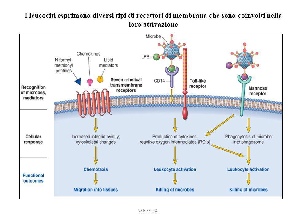 I leucociti esprimono diversi tipi di recettori di membrana che sono coinvolti nella loro attivazione