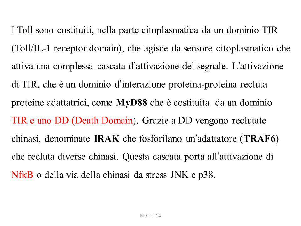 I Toll sono costituiti, nella parte citoplasmatica da un dominio TIR (Toll/IL-1 receptor domain), che agisce da sensore citoplasmatico che attiva una complessa cascata d'attivazione del segnale. L'attivazione di TIR, che è un dominio d'interazione proteina-proteina recluta proteine adattatrici, come MyD88 che è costituita da un dominio TIR e uno DD (Death Domain). Grazie a DD vengono reclutate chinasi, denominate IRAK che fosforilano un'adattatore (TRAF6) che recluta diverse chinasi. Questa cascata porta all'attivazione di NfkB o della via della chinasi da stress JNK e p38.