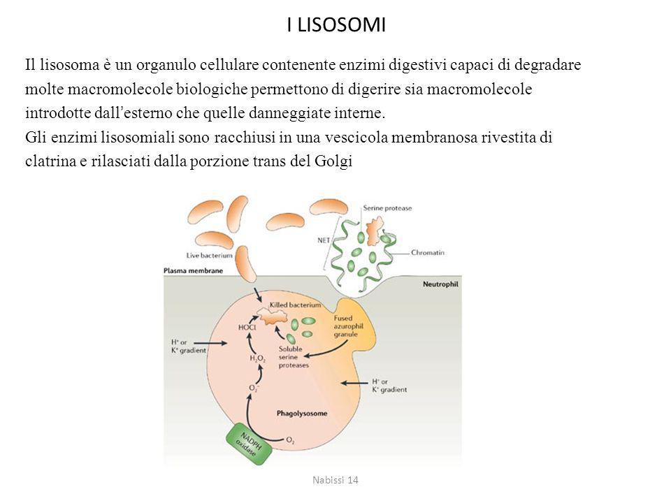 I LISOSOMI Il lisosoma è un organulo cellulare contenente enzimi digestivi capaci di degradare.