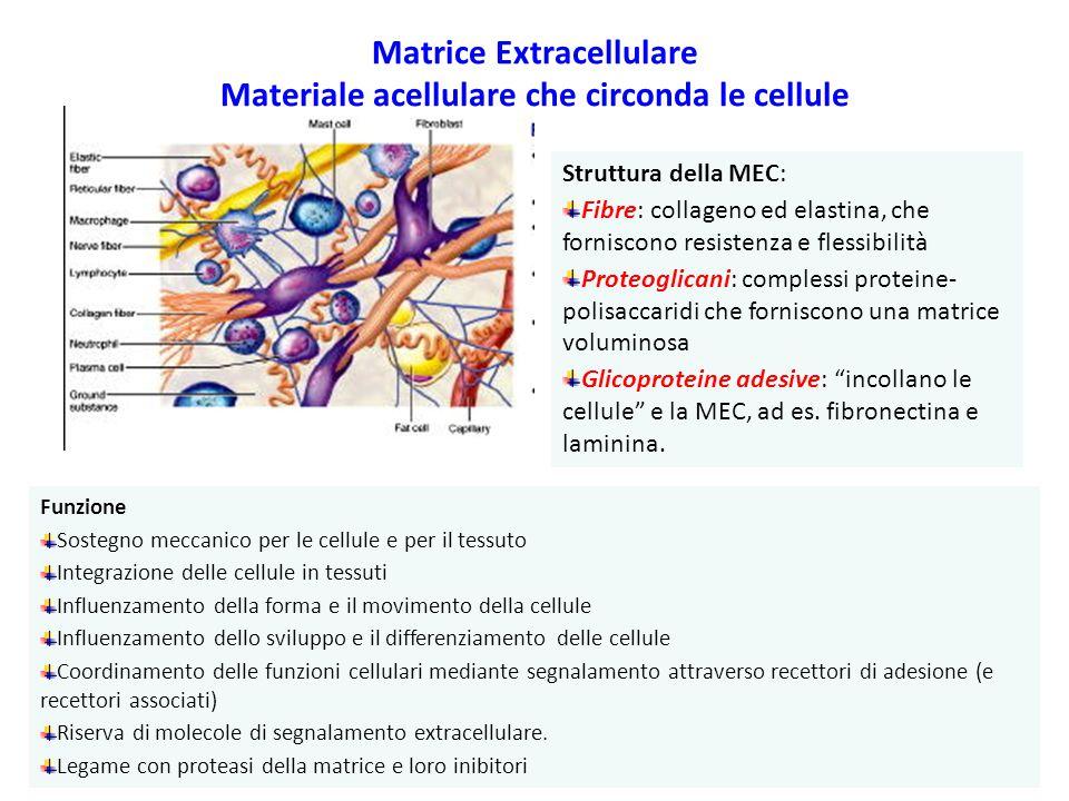 Matrice Extracellulare Materiale acellulare che circonda le cellule