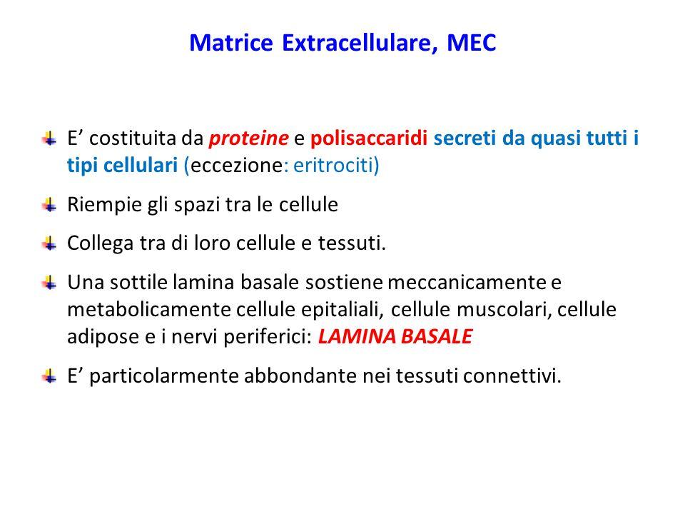 Matrice Extracellulare, MEC