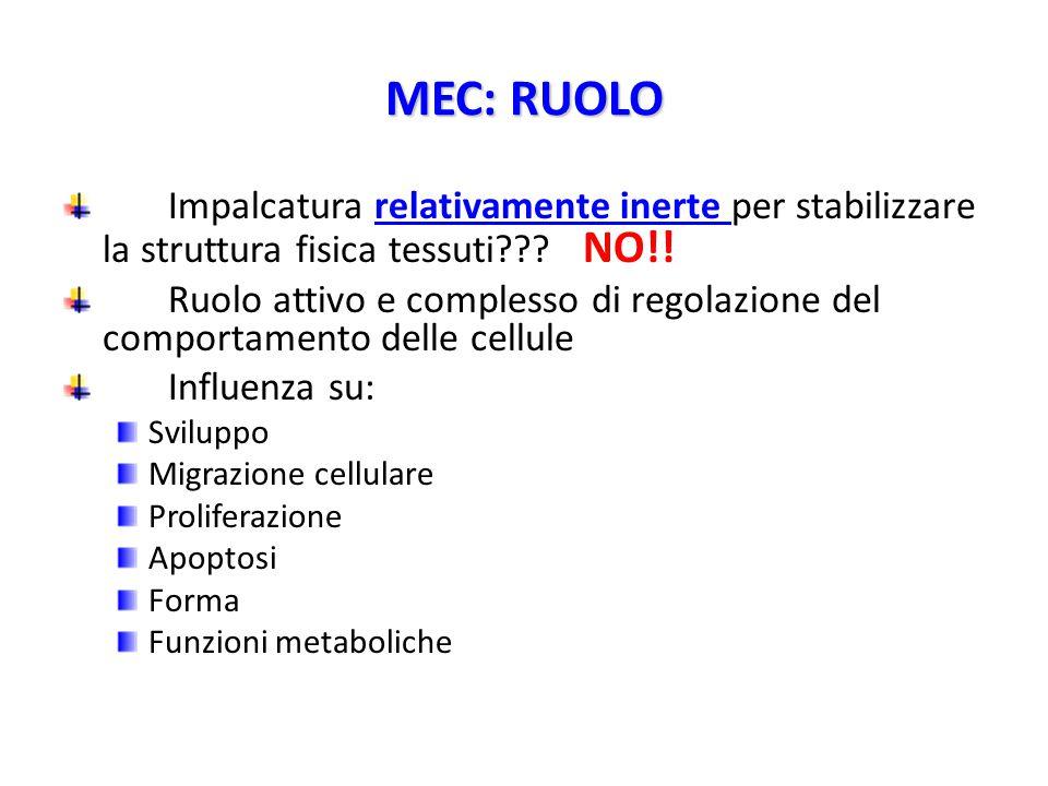 MEC: RUOLO Impalcatura relativamente inerte per stabilizzare la struttura fisica tessuti NO!!