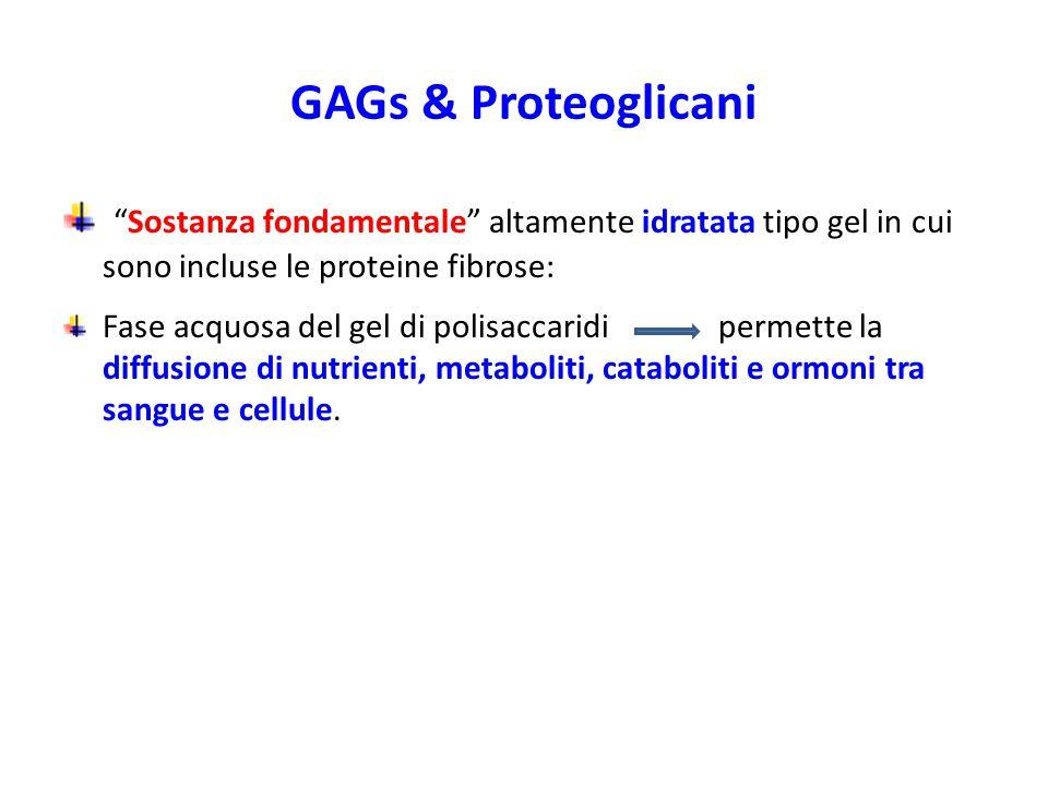 GAGs & Proteoglicani Sostanza fondamentale altamente idratata tipo gel in cui sono incluse le proteine fibrose: