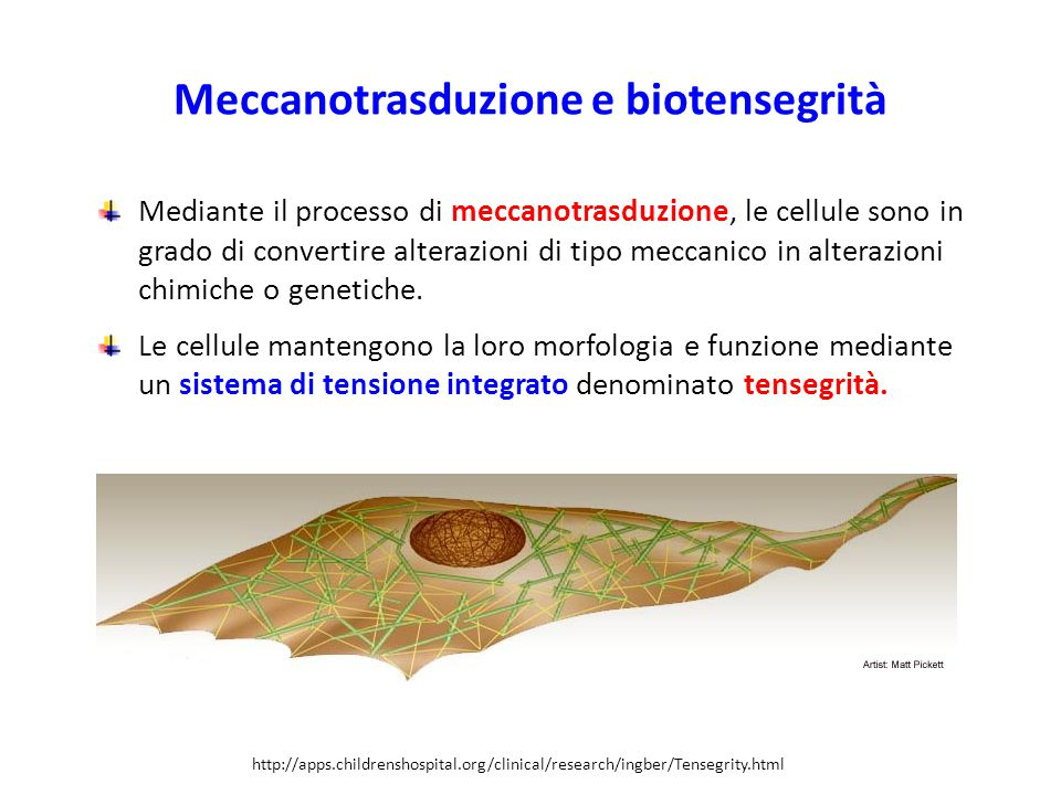 Meccanotrasduzione e biotensegrità