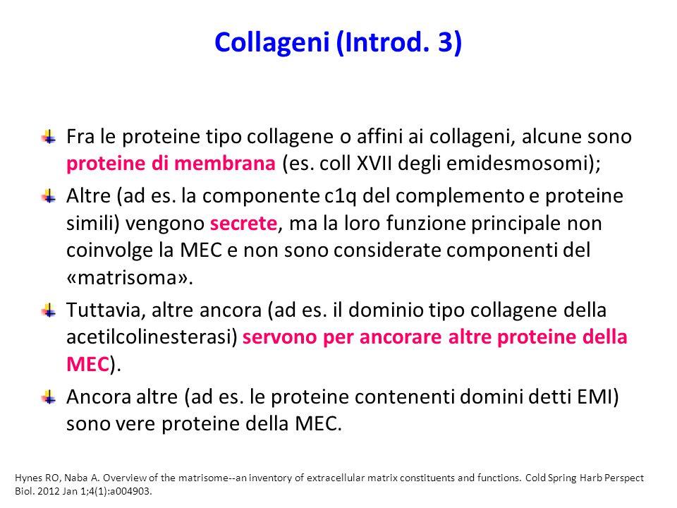 Collageni (Introd. 3) Fra le proteine tipo collagene o affini ai collageni, alcune sono proteine di membrana (es. coll XVII degli emidesmosomi);