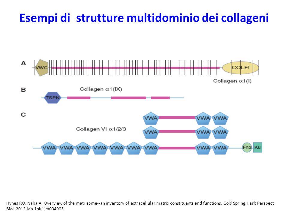 Esempi di strutture multidominio dei collageni