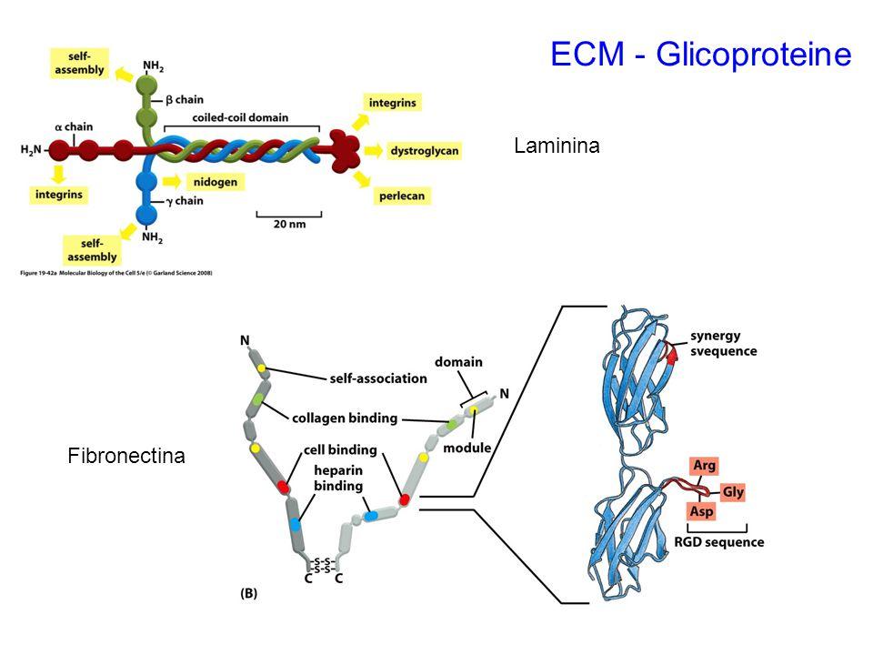 ECM - Glicoproteine Laminina Fibronectina