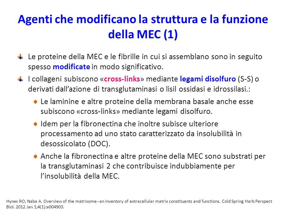 Agenti che modificano la struttura e la funzione della MEC (1)