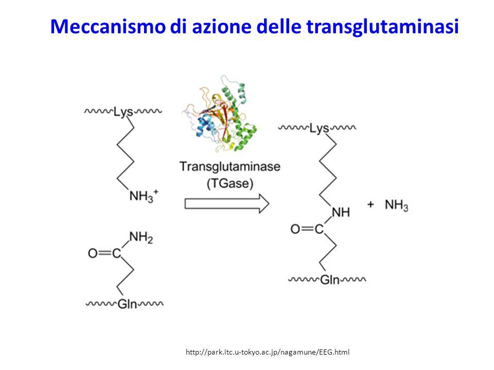 Meccanismo di azione delle transglutaminasi