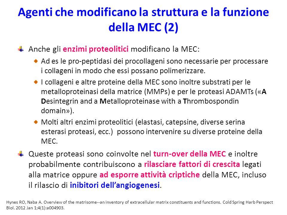 Agenti che modificano la struttura e la funzione della MEC (2)