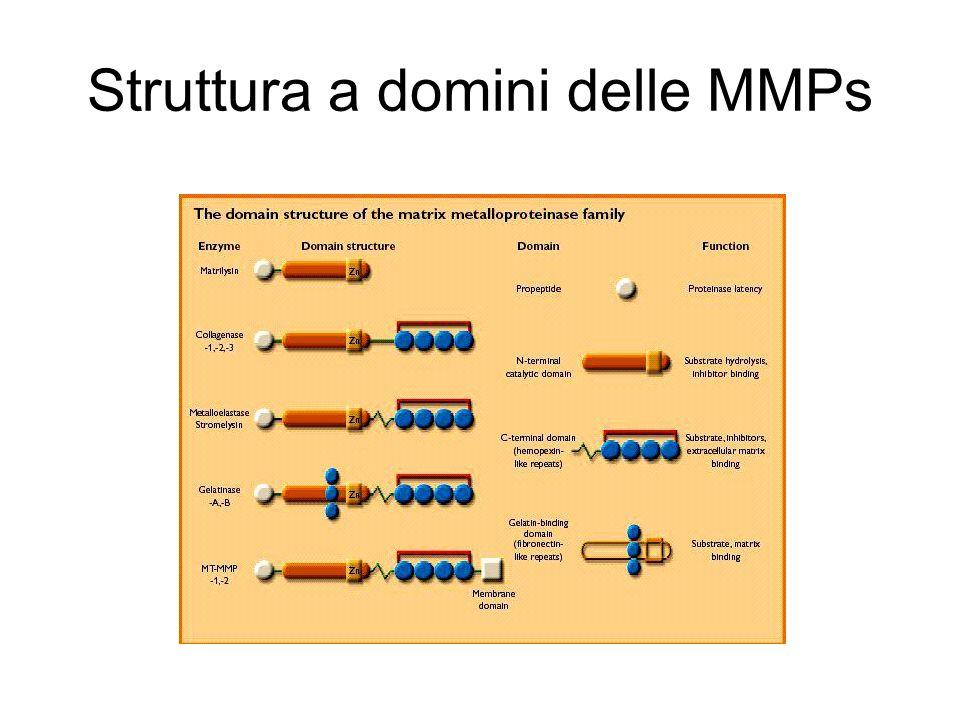 Struttura a domini delle MMPs