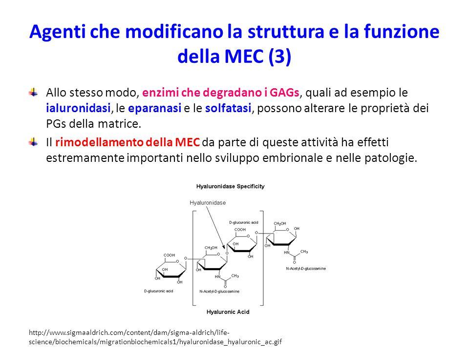 Agenti che modificano la struttura e la funzione della MEC (3)