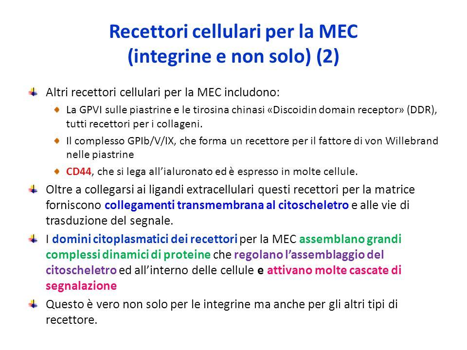 Recettori cellulari per la MEC (integrine e non solo) (2)