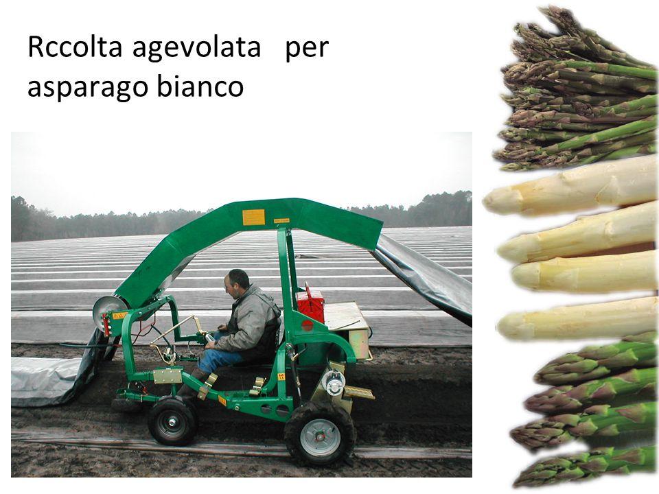 Rccolta agevolata per asparago bianco