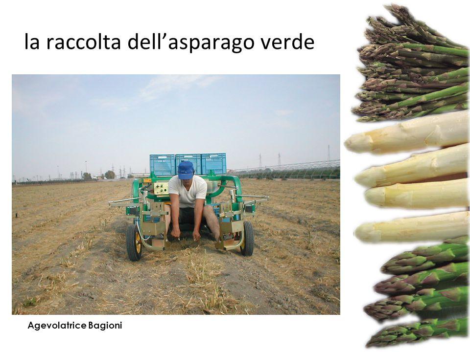 la raccolta dell'asparago verde