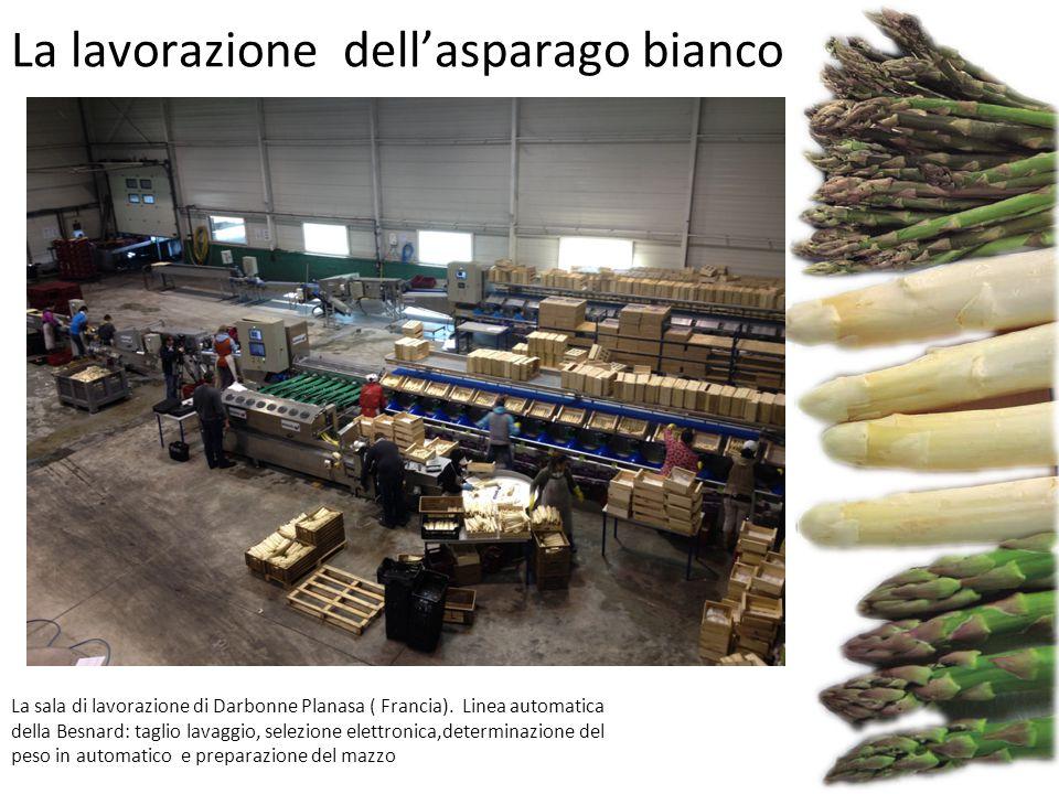 La lavorazione dell'asparago bianco