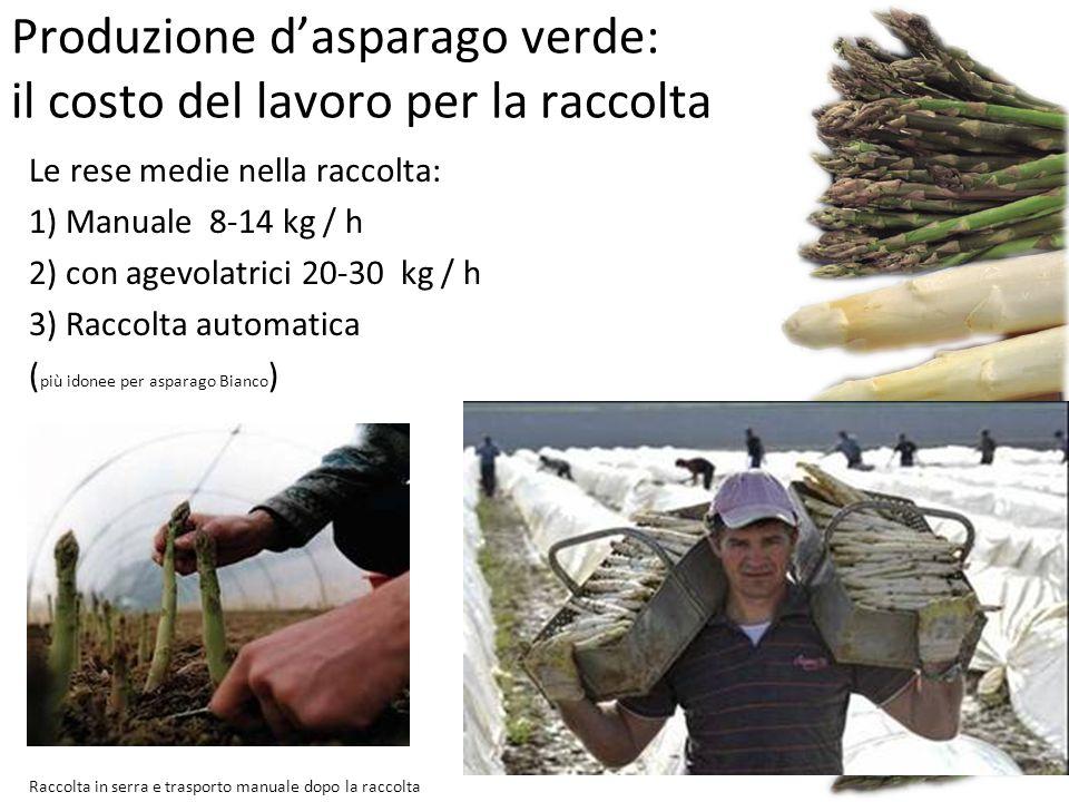 Produzione d'asparago verde: il costo del lavoro per la raccolta