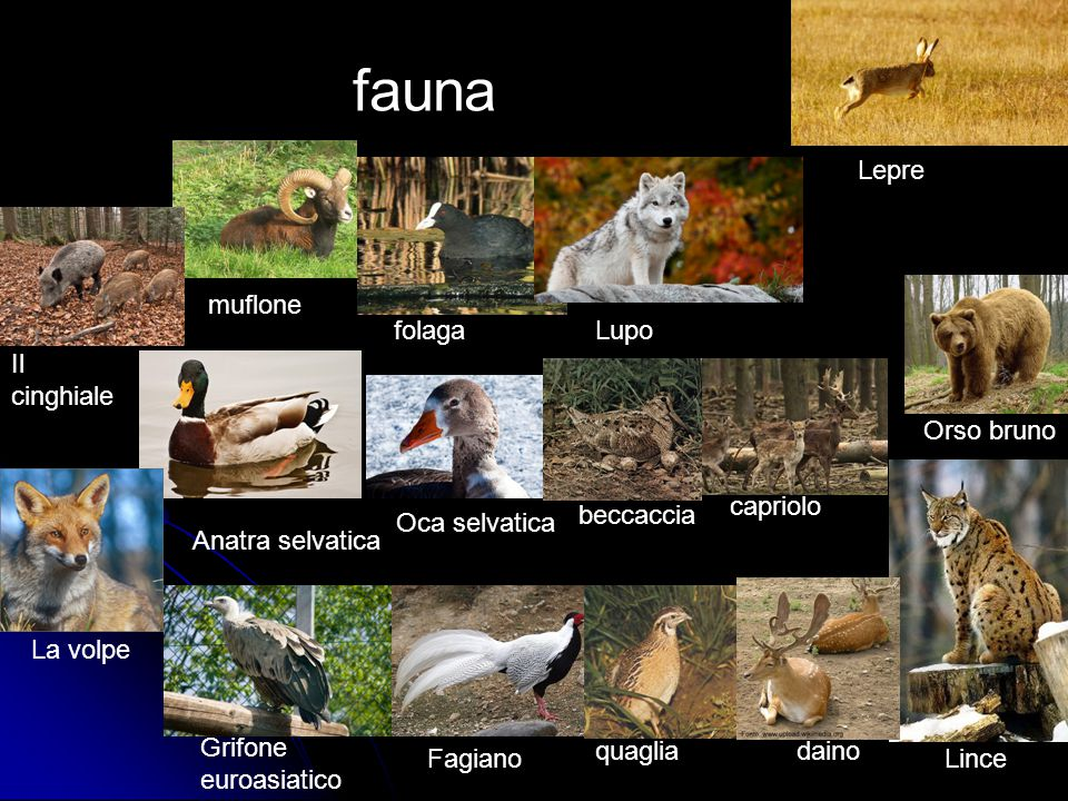 fauna Lepre muflone folaga Lupo Il cinghiale Orso bruno capriolo