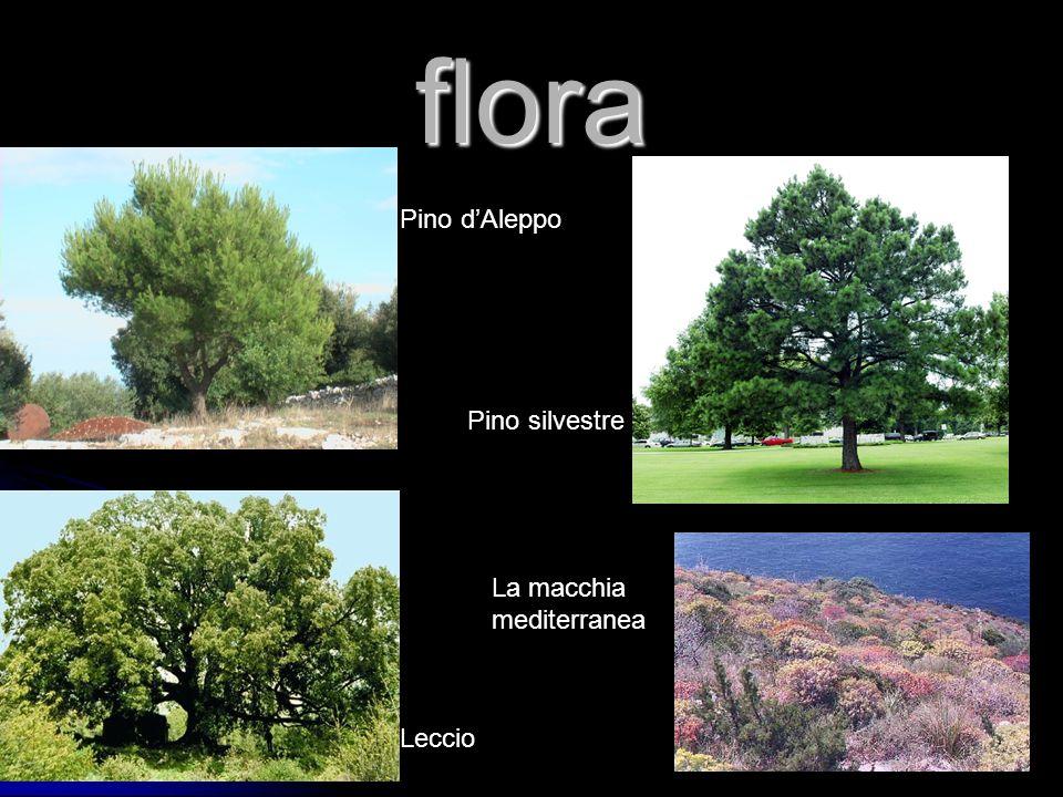 flora Pino d'Aleppo Pino silvestre La macchia mediterranea Leccio