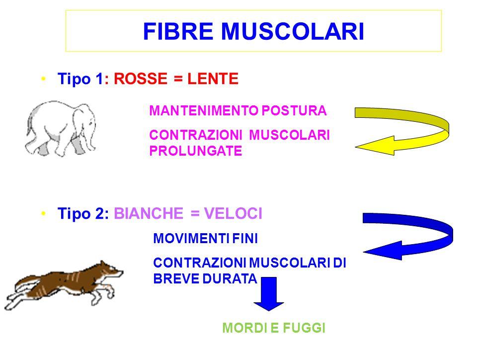 FIBRE MUSCOLARI Tipo 1: ROSSE = LENTE Tipo 2: BIANCHE = VELOCI