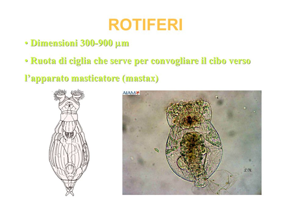 ROTIFERI Dimensioni 300-900 m
