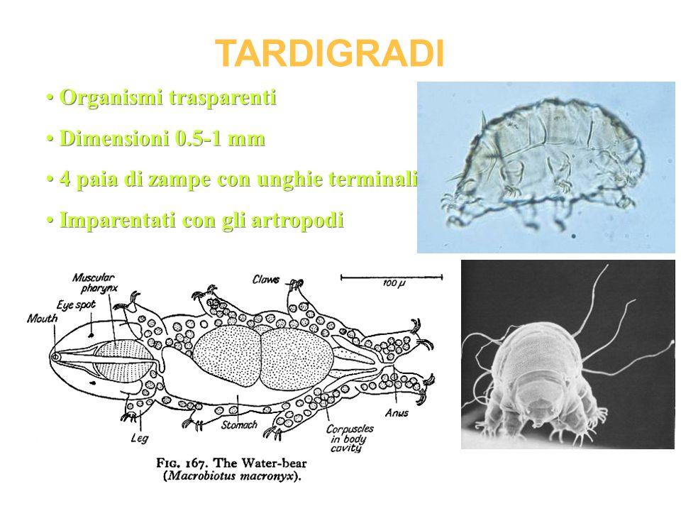 TARDIGRADI Organismi trasparenti Dimensioni 0.5-1 mm