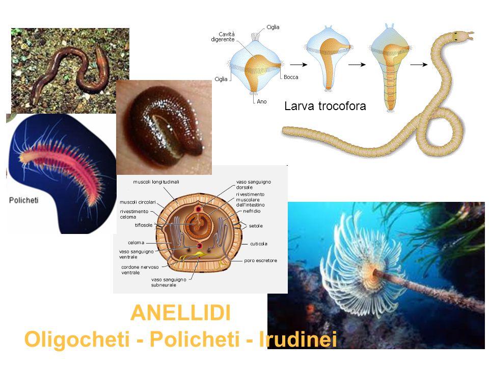 ANELLIDI Oligocheti - Policheti - Irudinei