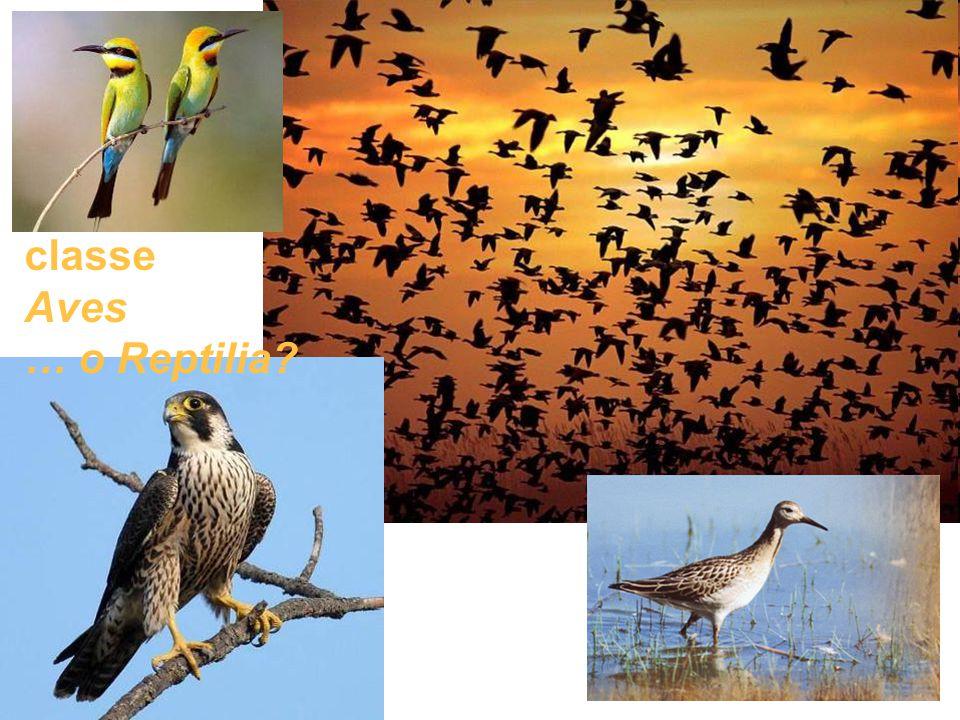 classe Aves … o Reptilia