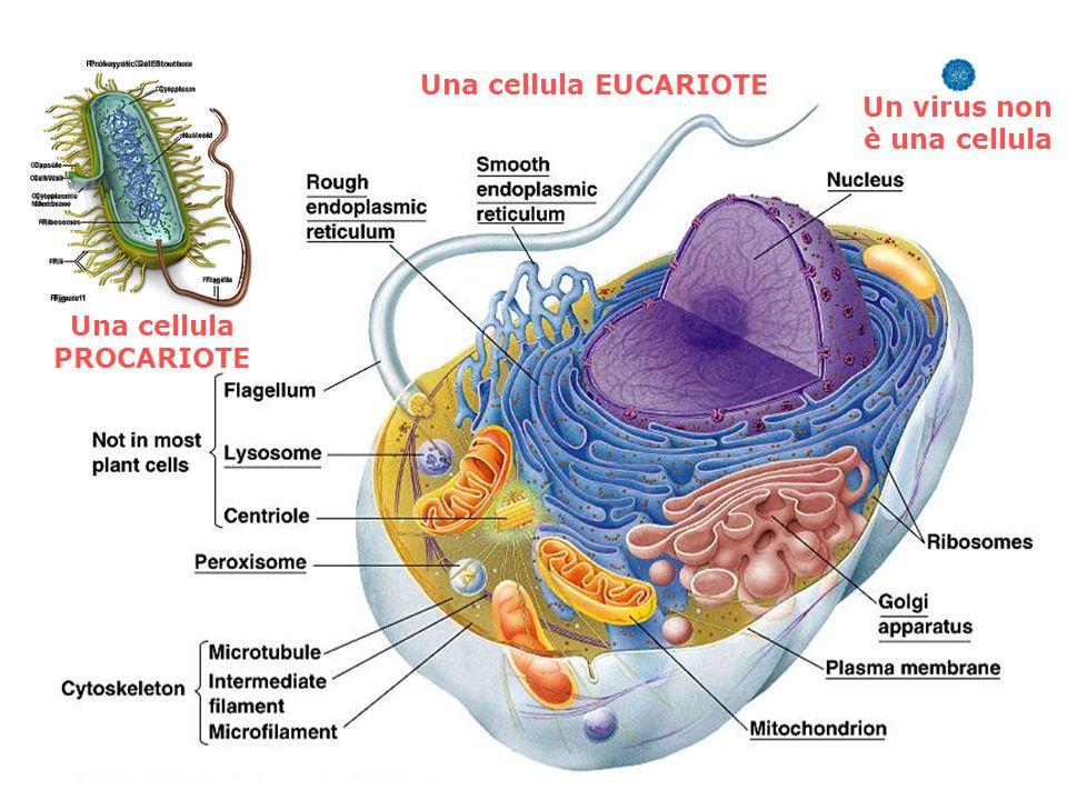 Una cellula PROCARIOTE