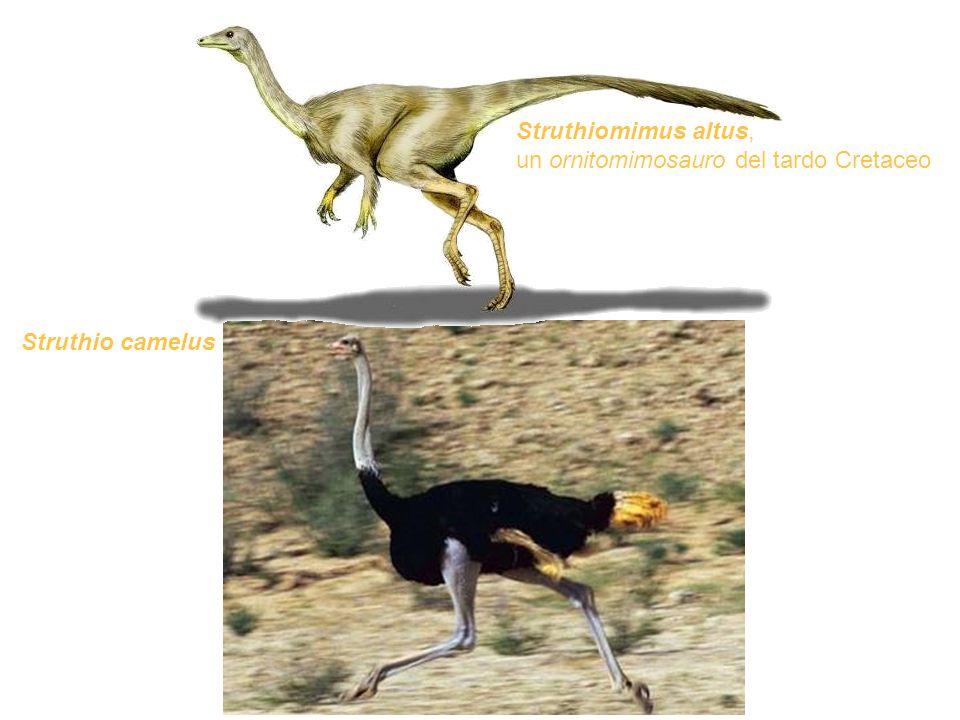 Struthiomimus altus, un ornitomimosauro del tardo Cretaceo Struthio camelus