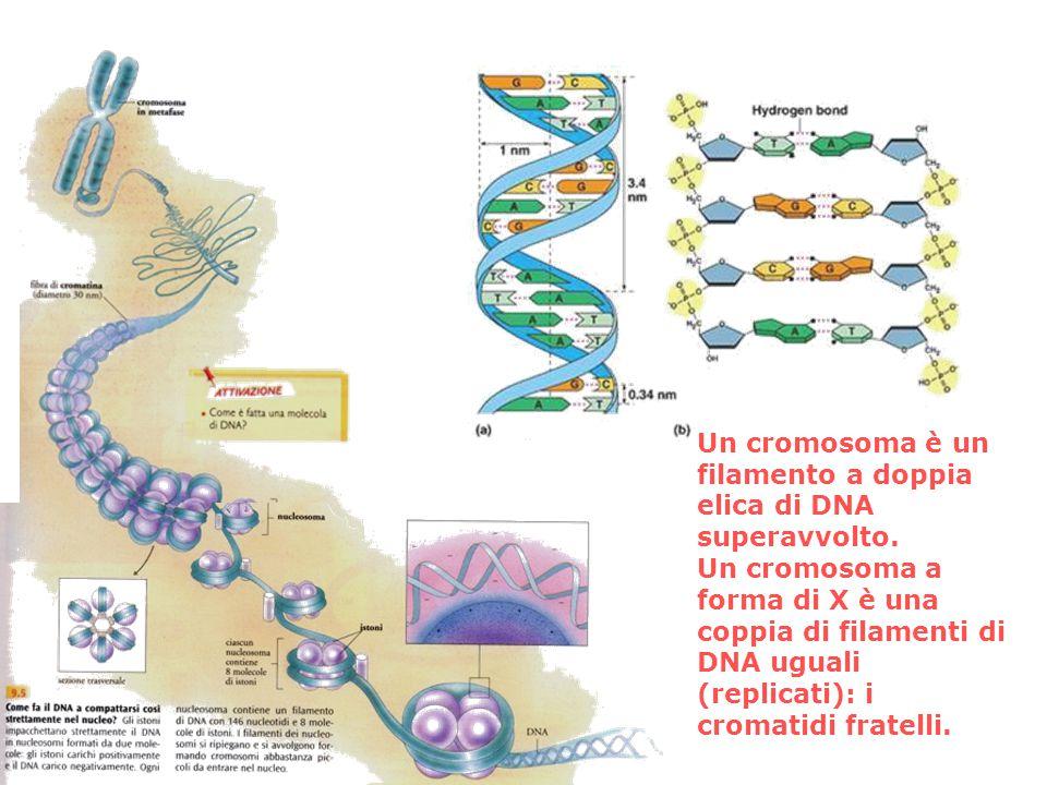 Un cromosoma è un filamento a doppia elica di DNA superavvolto.