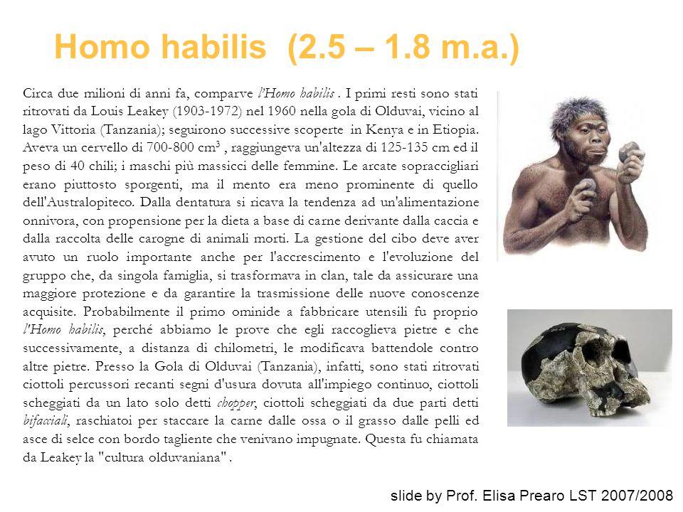 Homo habilis (2.5 – 1.8 m.a.)