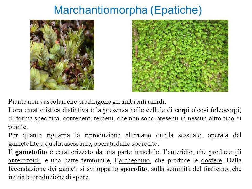 Marchantiomorpha (Epatiche)