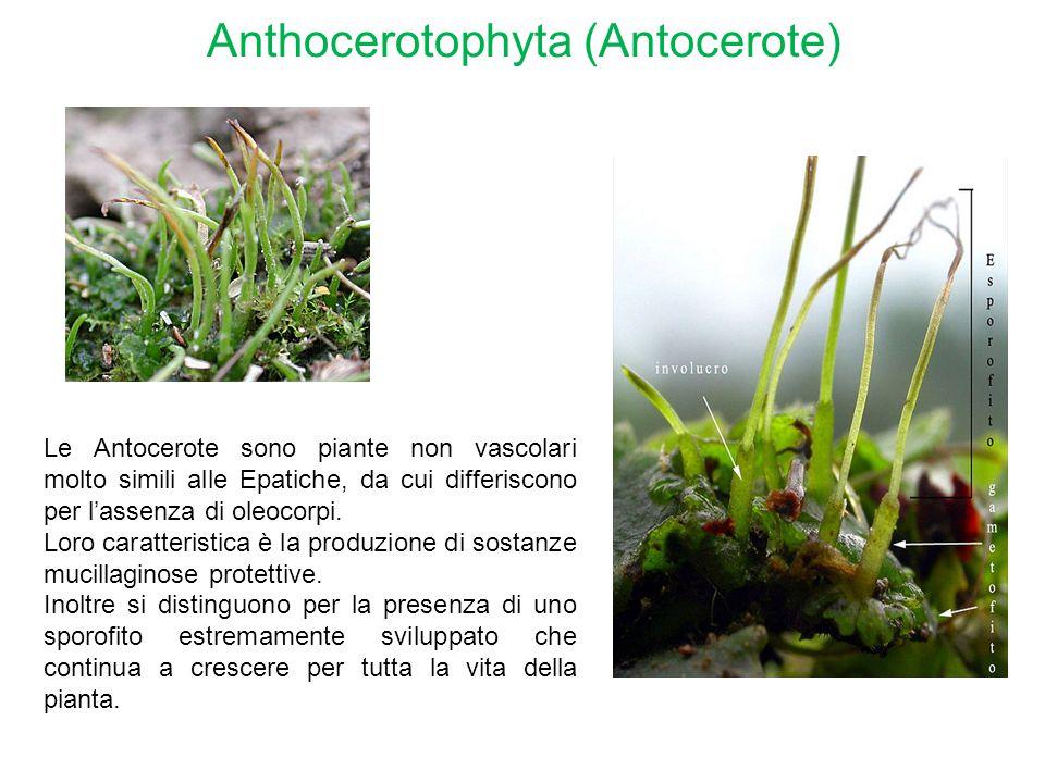 Anthocerotophyta (Antocerote)