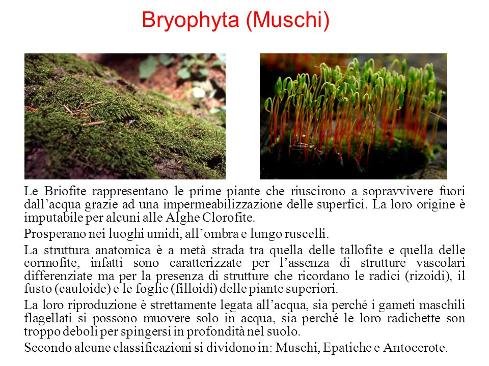 Bryophyta (Muschi)