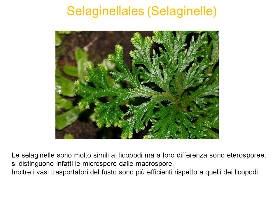 Selaginellales (Selaginelle)