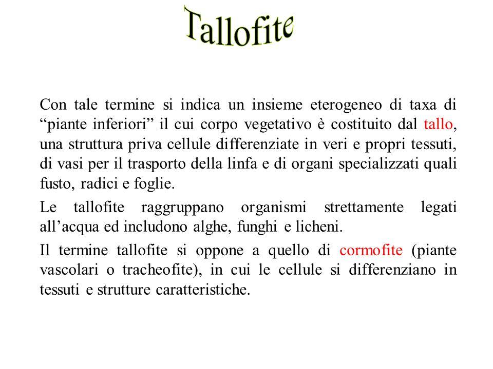 Tallofite