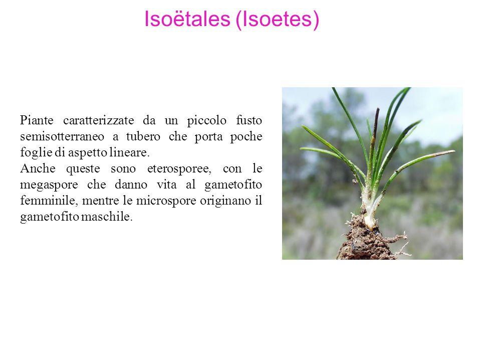 Isoëtales (Isoetes) Piante caratterizzate da un piccolo fusto semisotterraneo a tubero che porta poche foglie di aspetto lineare.