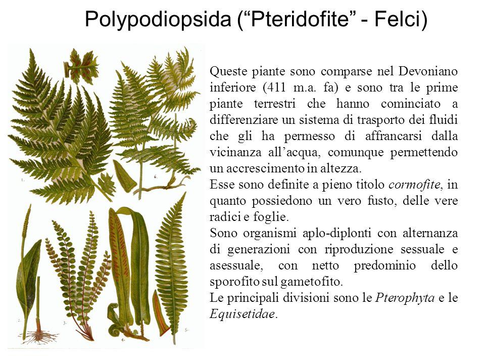 Polypodiopsida ( Pteridofite - Felci)