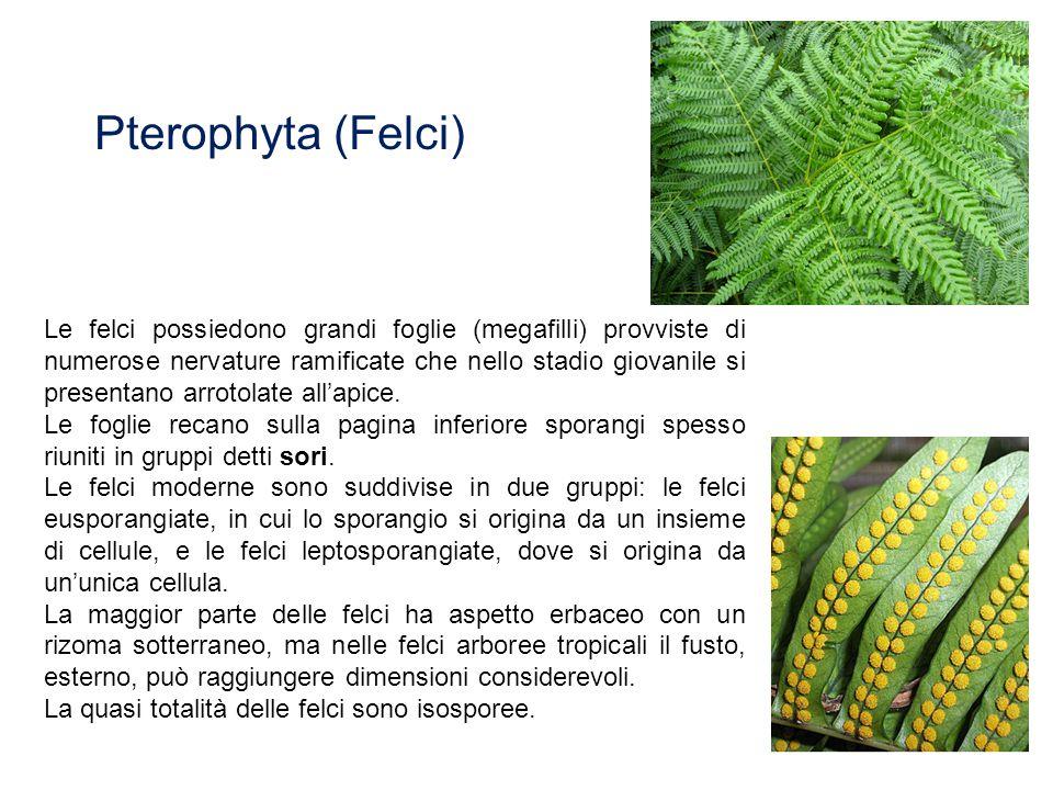 Pterophyta (Felci)