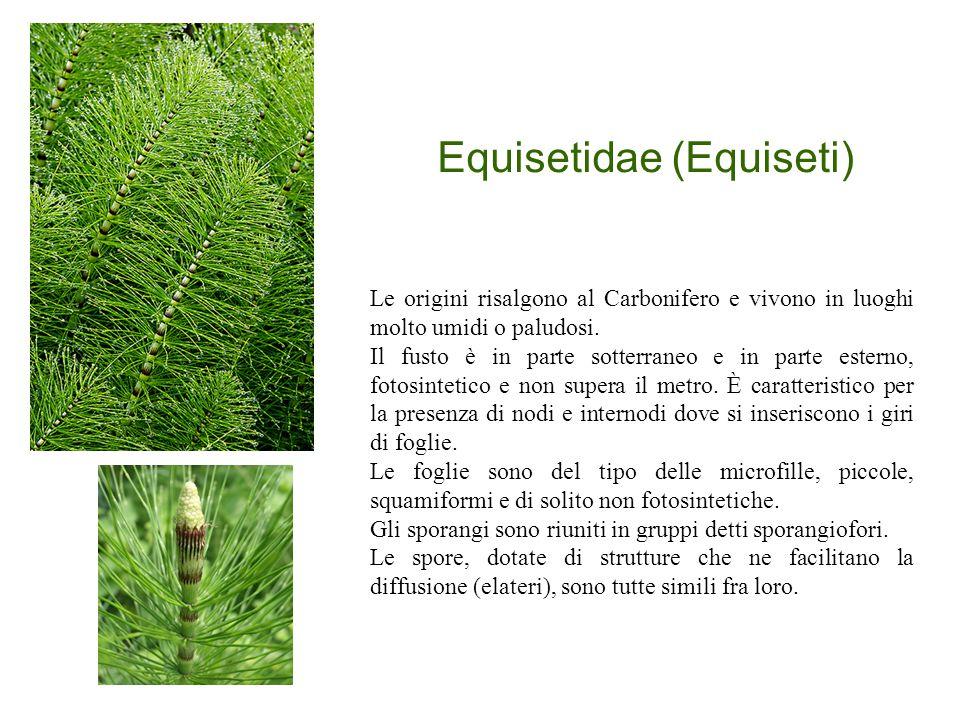 Equisetidae (Equiseti)