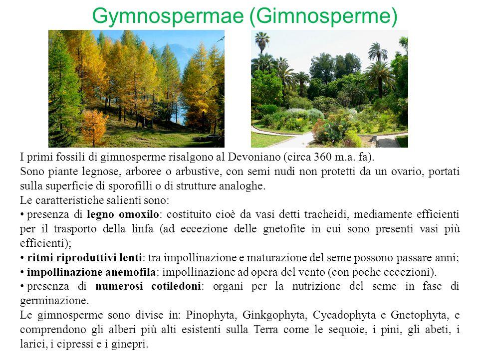 Gymnospermae (Gimnosperme)